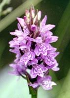 rietorchis2.jpg